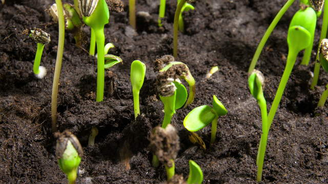 Plant Germination and Growth of Sunflower Seeds