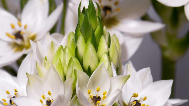 Star Of Bethlehem, Ornithogalum blooming Time-Lapse, macro shot 4K