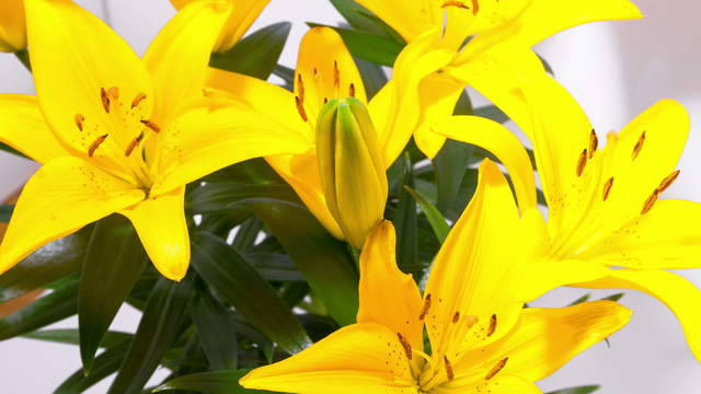 Yellow Lily Flowering 4K Zoom Timelapse