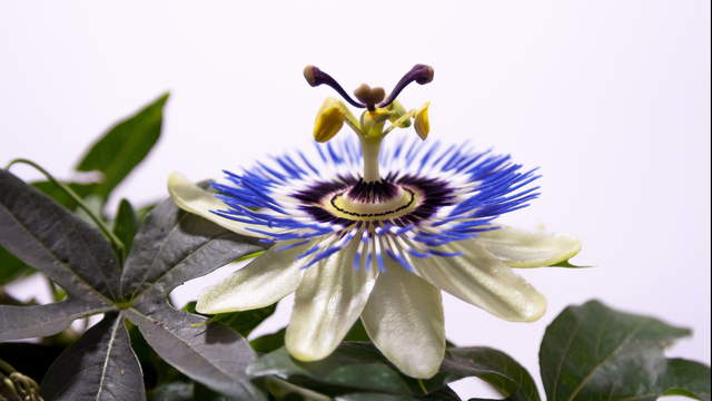 Passionflower Single Blossoms 2 Zoom Shots in 4K
