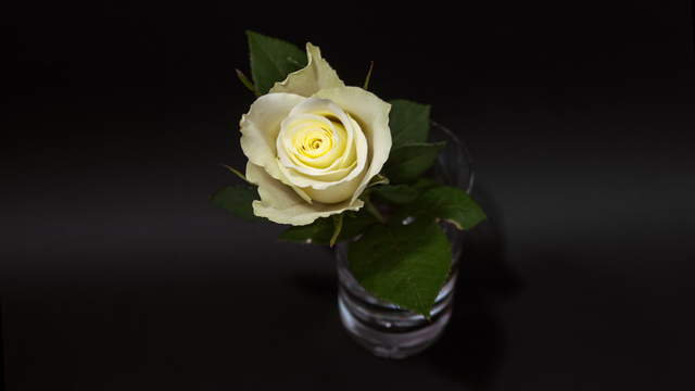 White Rose In Glas 4K