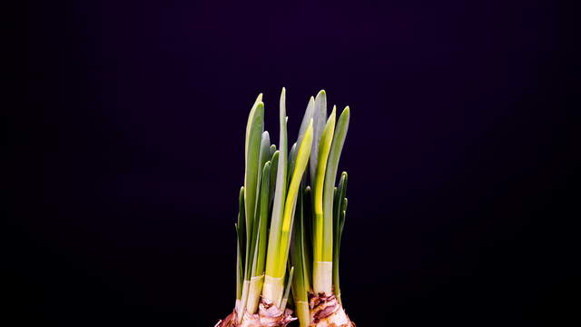 Growing Daffodil (Narcissus)