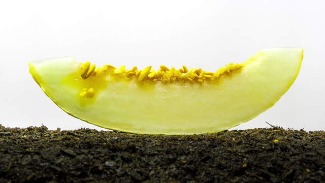 Honeydew Melon and Seed Sprouting