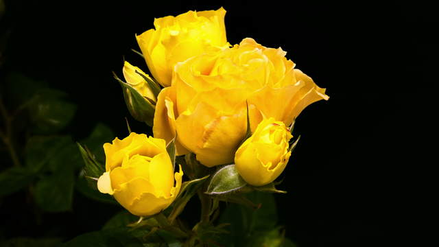 Yellow Rose Blossoms